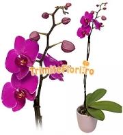 Orhidee Phalaenopsis mov